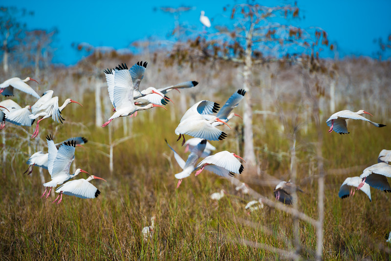 Everglades (18 of 37).jpg