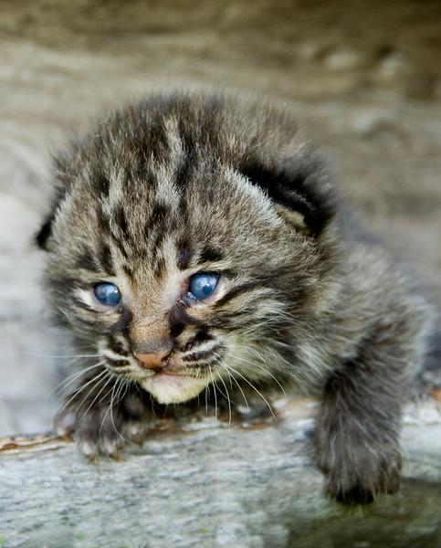 Bobcat Kittens 02.jpg