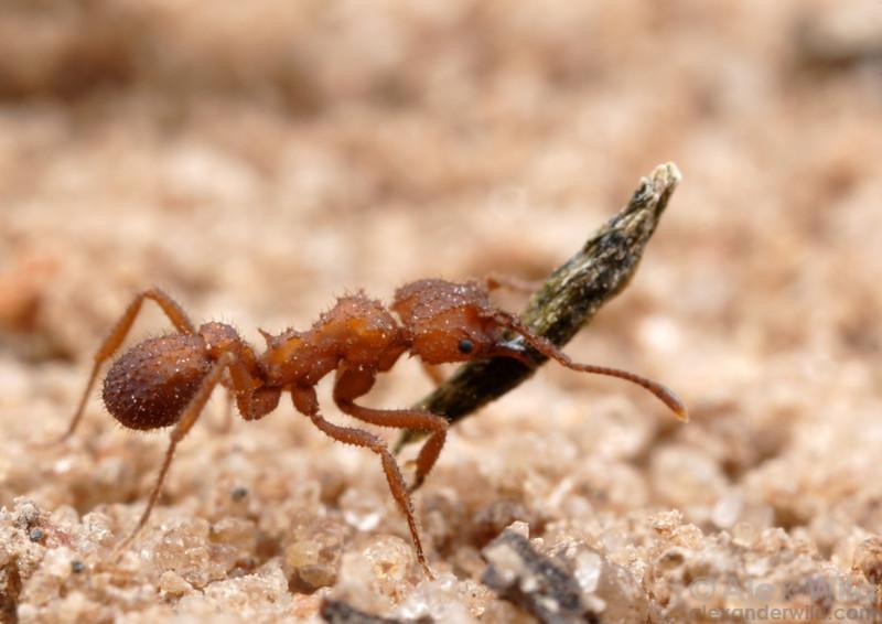 Mycetomoellerius tucumanus