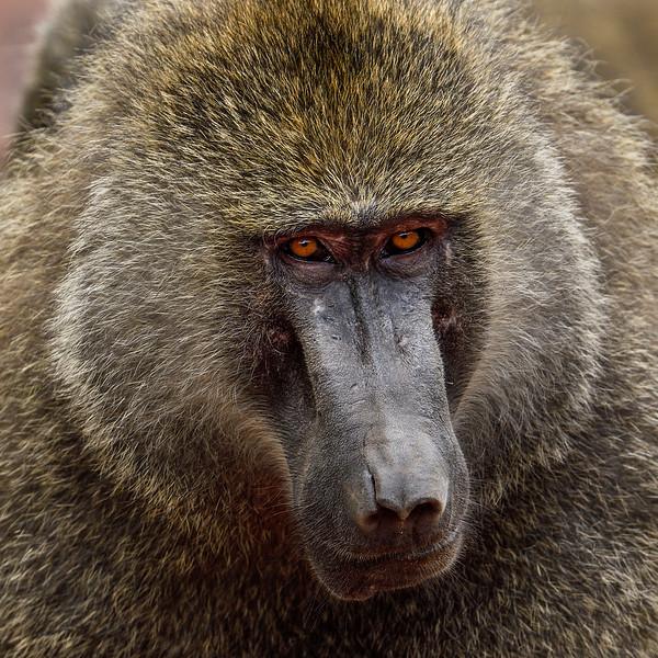 Baboon-portrait-closeup-1.jpg
