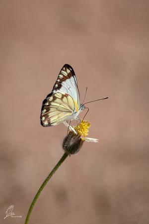 White, African Common (spp. severina)