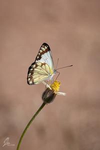 Witje (Belenois creona)