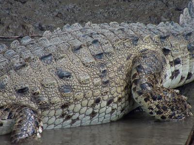Cro-Cro-Cro-Crocodiles