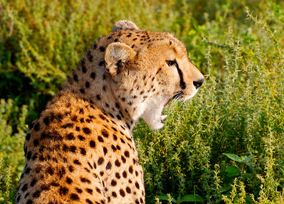 2015 - Cheetah Conservation Fund