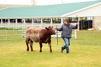 Breeding Heifers Class 4