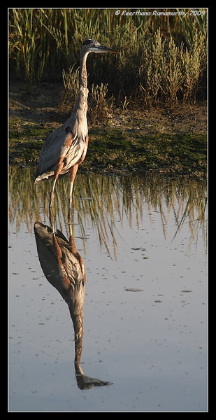 Great Blue Heron, Robb Field, San Diego River, San Diego County, California, August 2009