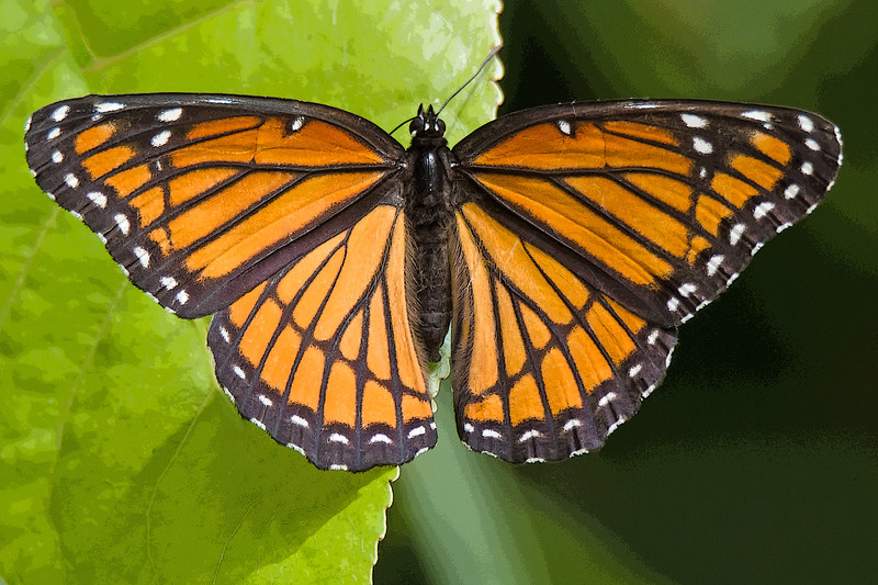 Viceroy Butterfly (filtered)