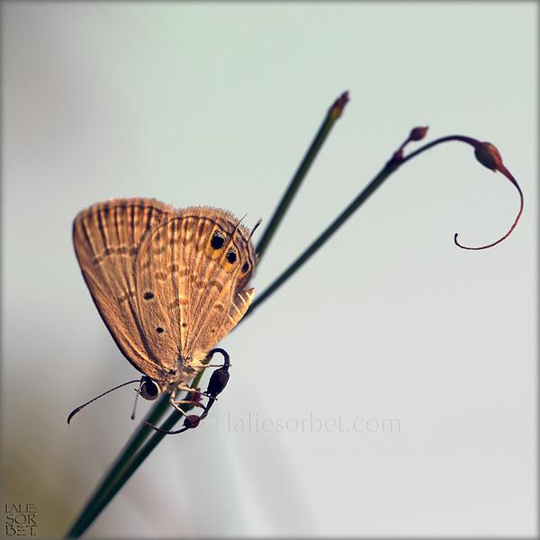 Eastern Tailed Blue Butterfly .jpg