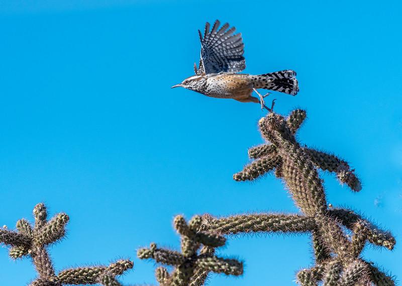 Cactus Wren Flying #1