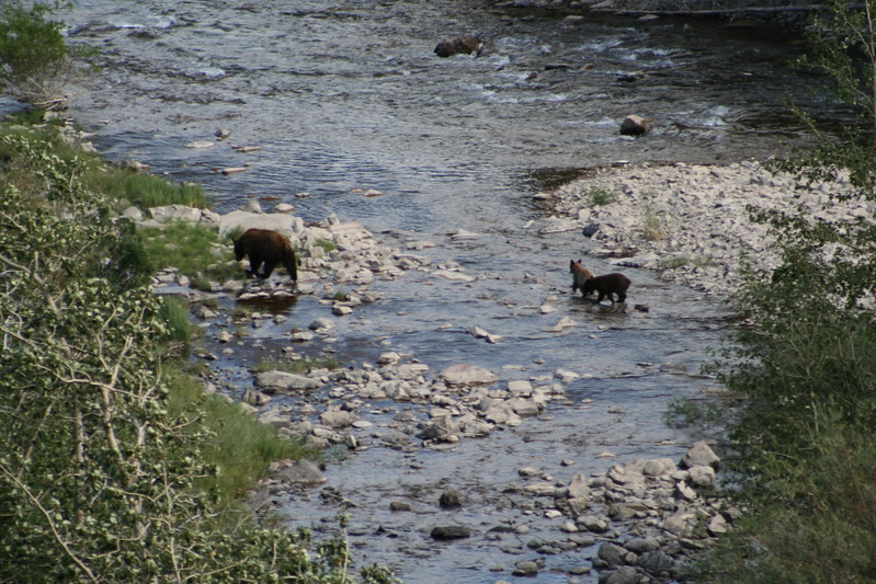 20110828 - 065 - GNP - Sow And 3 Bear Cubs Along Road By Many Glacier Hotel.JPG