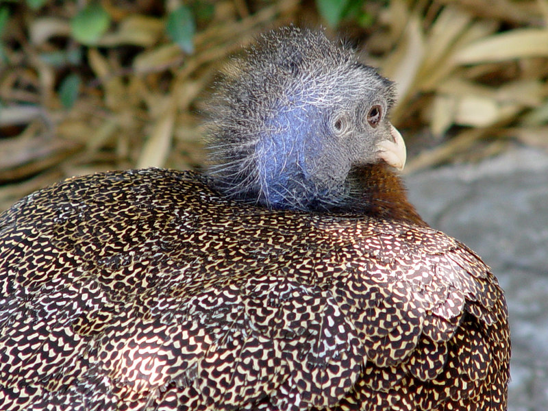 Great Argus Pheasant [male]
