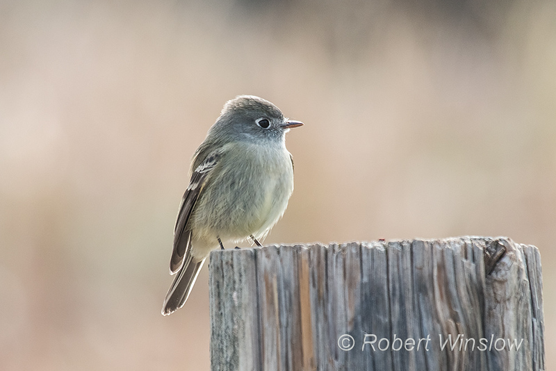 Hammond's Flycatcher, Empidonax hammondii, La Plata County, Colorado, USA, North America