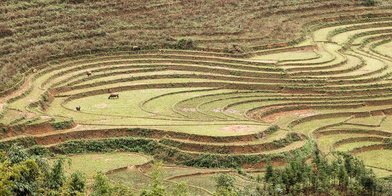 water-buffalo-grazing-sa-pa-terraces.jpg