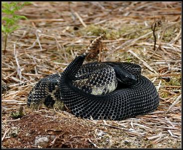 Rattle snake adventures