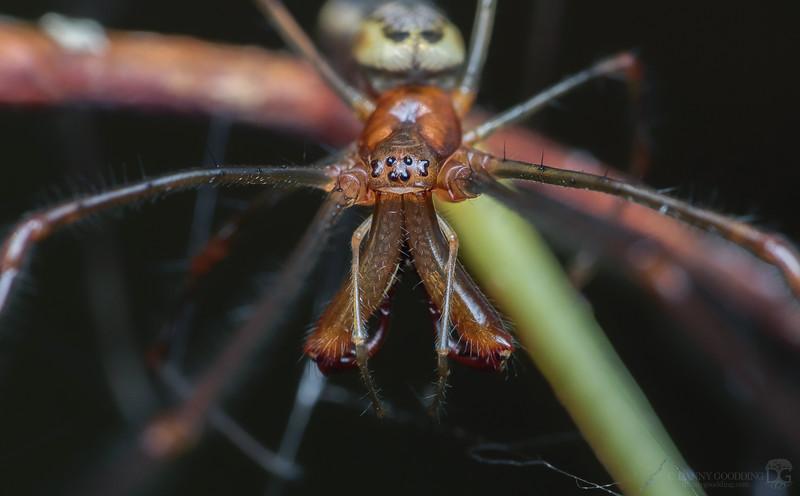 Elongate stilt spider