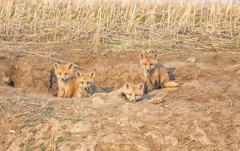 Fox Kits May 2018.jpg