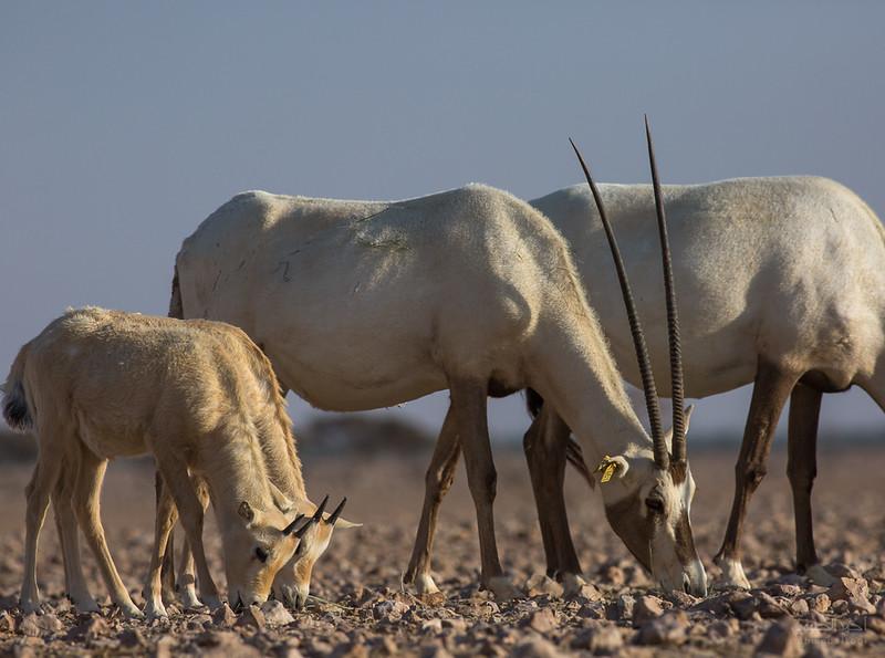Arabian Oryx (72).jpg