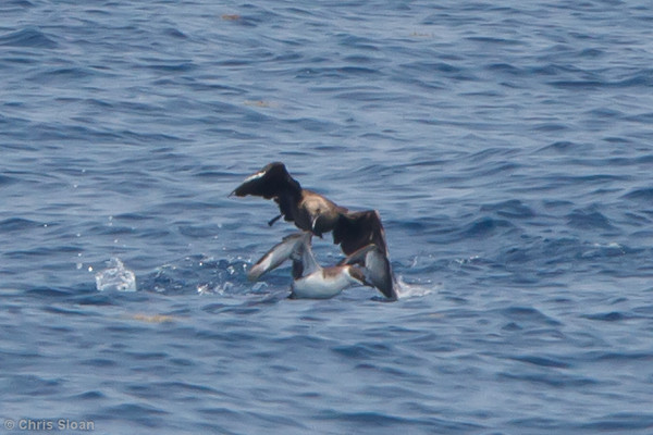 South Polar Skua attacking Great Shearwater at pelagic trip off Hatteras, NC (06-04-2011) - 085.jpg