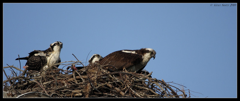 Mother Osprey with juveniles, Robb Field, San Diego River, San Diego County, California, May 2010