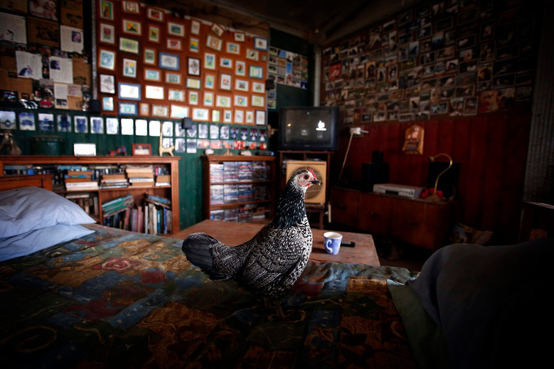 . A chicken stands on the bed of farmer Lindy Haynes on her property known as \'Pigsville\' in the New South Wales town of Mudgee, located 250 km (155 miles) west of Sydney March 2, 2013. Haynes believes that all farm animals should be \'free range\', and allows the pigs, chickens, cats and dogs on her farm to move freely in and out of her house, with most sleeping inside at night. Picture taken March 2, 2013.    REUTERS/David Gray