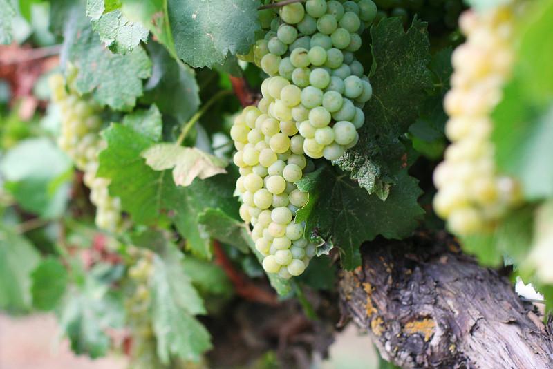 Chardonnay3.jpg
