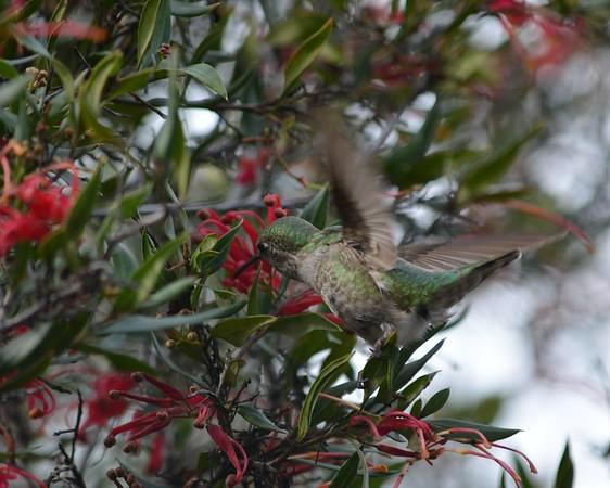 Hummingbirds at the UC Santa Cruz Arboretum