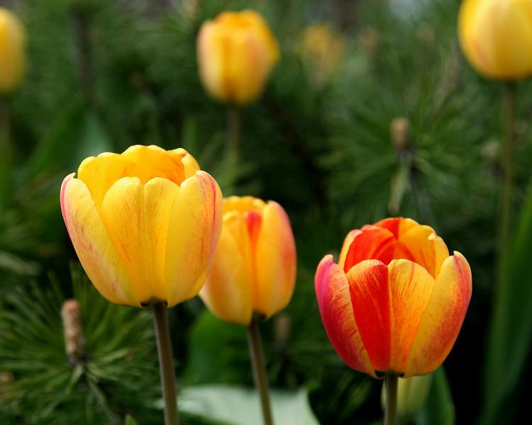 Blaze Tulips