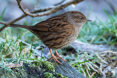 Dunnock in the hard frost