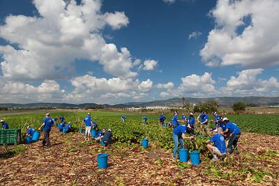 ND Volunteering at Leket Israel 12/05/13