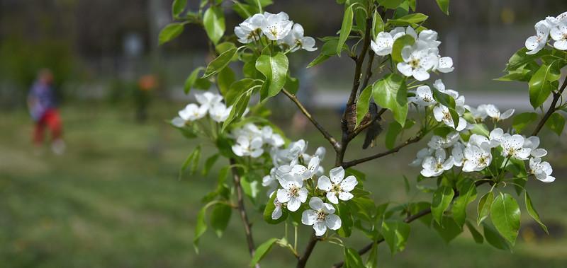 Blossoms_FruitTrees_ADJ_753.jpg