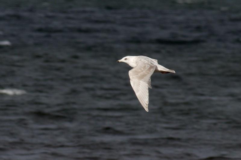 Nelson's Gull? Herring Gull X Glaucous Gull WI Pt Superior WI IMG_0030979.jpg