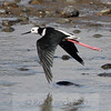 Pied stilt (Himantopus himantopus) / Poaka, in flight