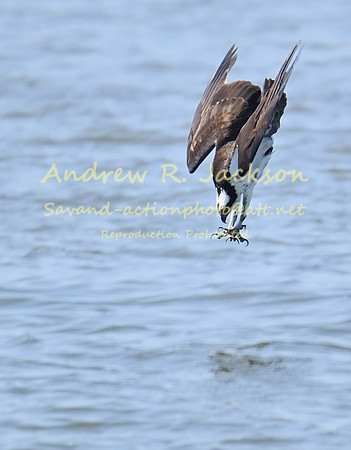 4-7-13 Osprey-Heron_Eagles @ Lions Bridge ( more coming)