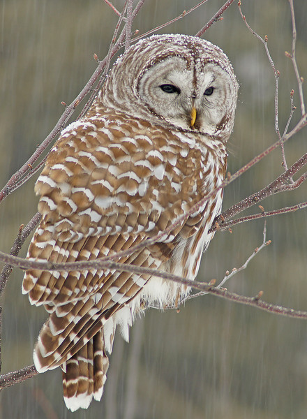 March Barred Owl In Snowstorm .jpg