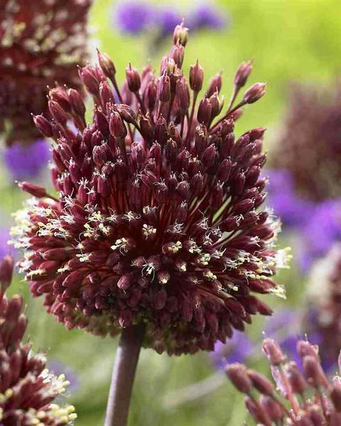 Allium amethystinum 'Red Mohican'.jpg