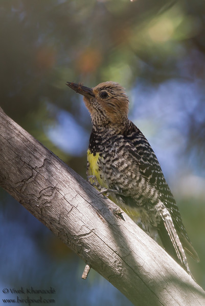 Willaimson's Sapsucker - Kyburz Flats, CA, USA