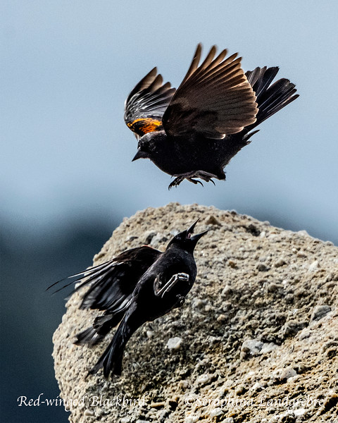 _DSC9902Red-winged Blackbirds.jpg
