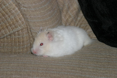 Snowball our new Hamster 8-12-2003