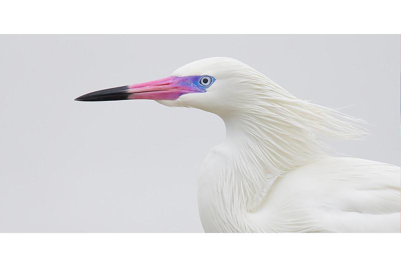 White Morph In Breeding Mode