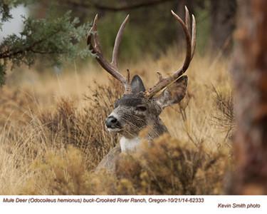 Mule Deer M62333.jpg