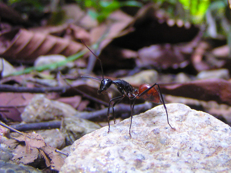 Giant Forest Ant (Camponotus gigas)