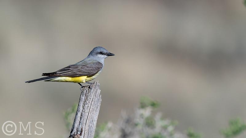 Western Kingbird Image Gallery