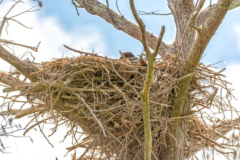 2017 Bald Eagle Chick-106.jpg