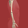 Upper Extremity Skeleton, Lateral View, Portrait