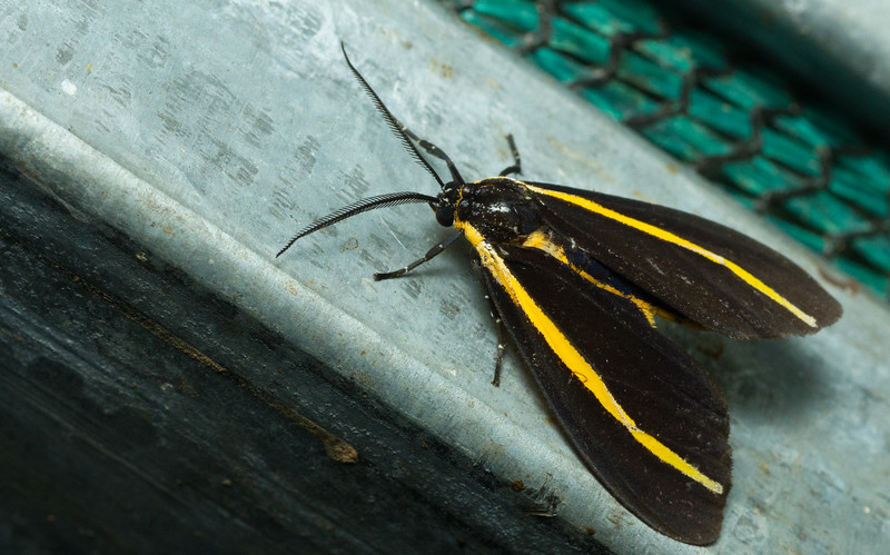A goth moth from Costa Rica, most likely Josiomorpha penetrata.