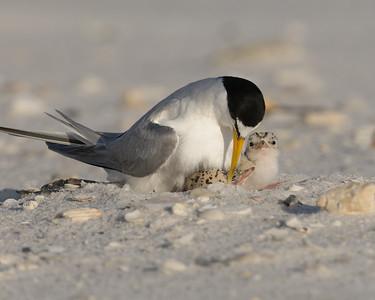 Least Tern Hatching