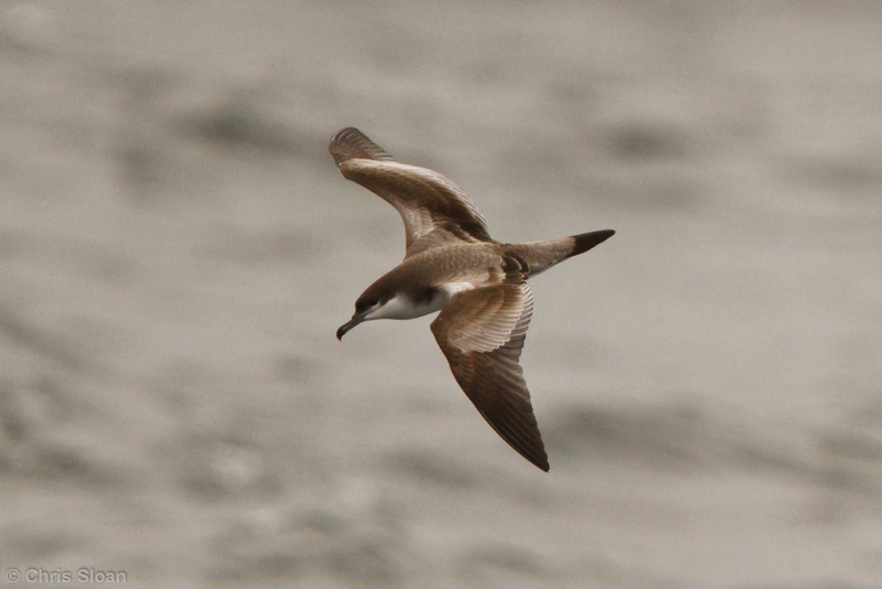 Buller's Shearwater at pelagic out of Bodega Bay, CA (10-15-2011) - 806.jpg