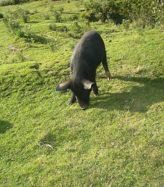 Those black Peruvian pigs.