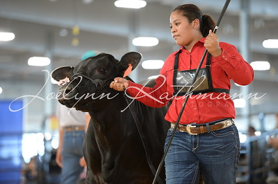 Commercial Heifers - Haltered Show