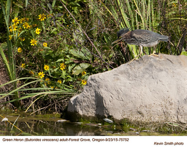 Green Heron A75752.jpg